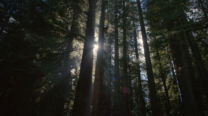 SEQUOIAS.PNG