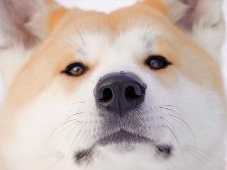 夥拍 Google 秋田犬發祥地推狗隻視點街景圖