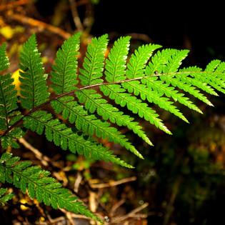 Fractals in ferns