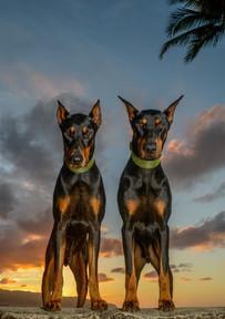 Dobermans at sunset