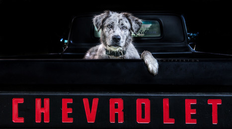 Australian Shepherd and Chevrolet dog portrait