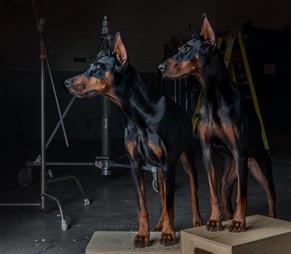 Doberman pinscher dog portrait