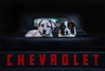 Australian Shepherd and Border Collie in a pick up truck