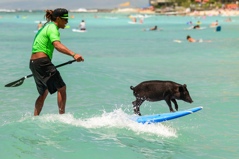 Surf's up - Photo shoot pig