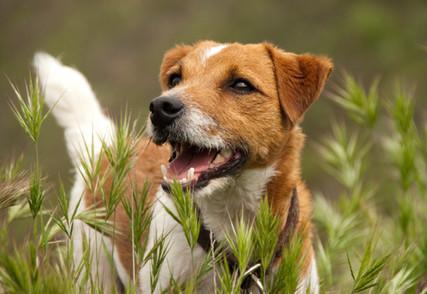 Jack Russell Terrier Dog Portrait