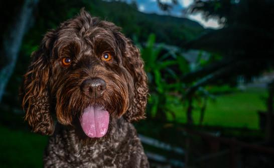 Labradoodle Dog Portrait