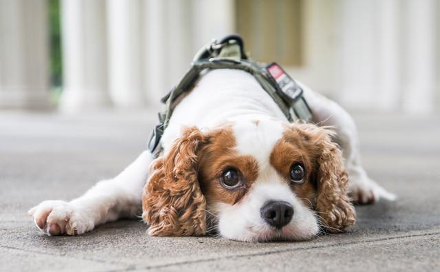 King Charles Spaniel Dog Portrait