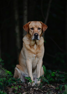 Labrador dog portrait
