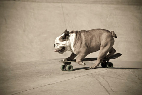 Action shot English Bulldog skateboarding