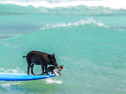 Surf's up - Photo shoot pig and cat