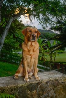 Labrador in Hawaii - Dog portrait