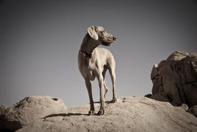 Blending in - Weimaraner dog portrait