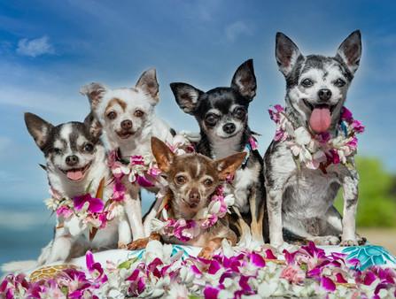 Chihuahuas in Waikiki!!
