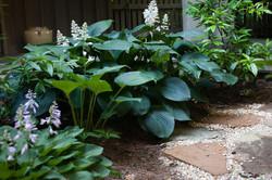 shade garden hosta planting