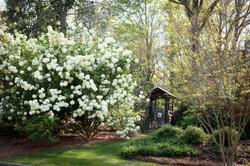 snowball viburnum in bloom
