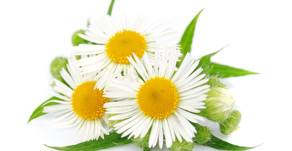 The wonderful world of Chamomile