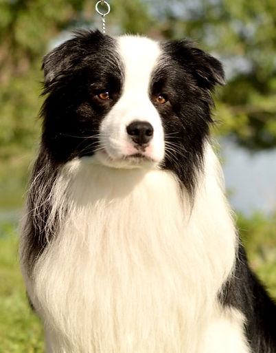 BorderCollie_centre_channing.jpg