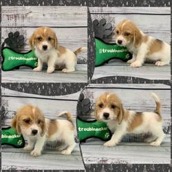 Beagle x Shihtzu