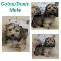 Coton x Doxie