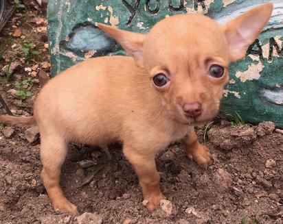 Chihuahua-male