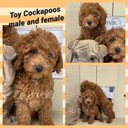 Cockapoo Siblings