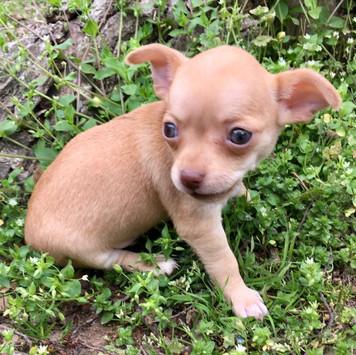 Chihuahua- Female