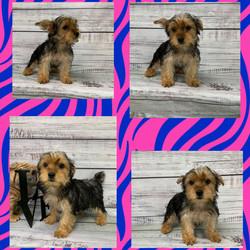 Yorkshire Terrier-SALE
