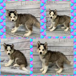 Siberian Husky- Fluffy