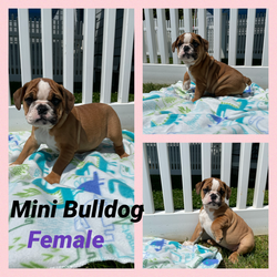Mini bulldog-SALE