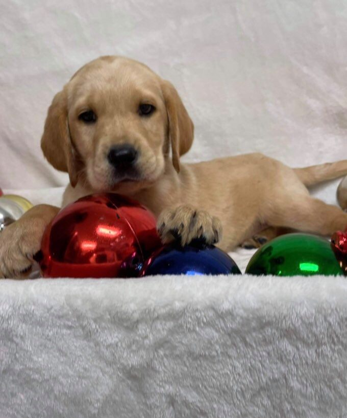 Labrador Retriever**SALE