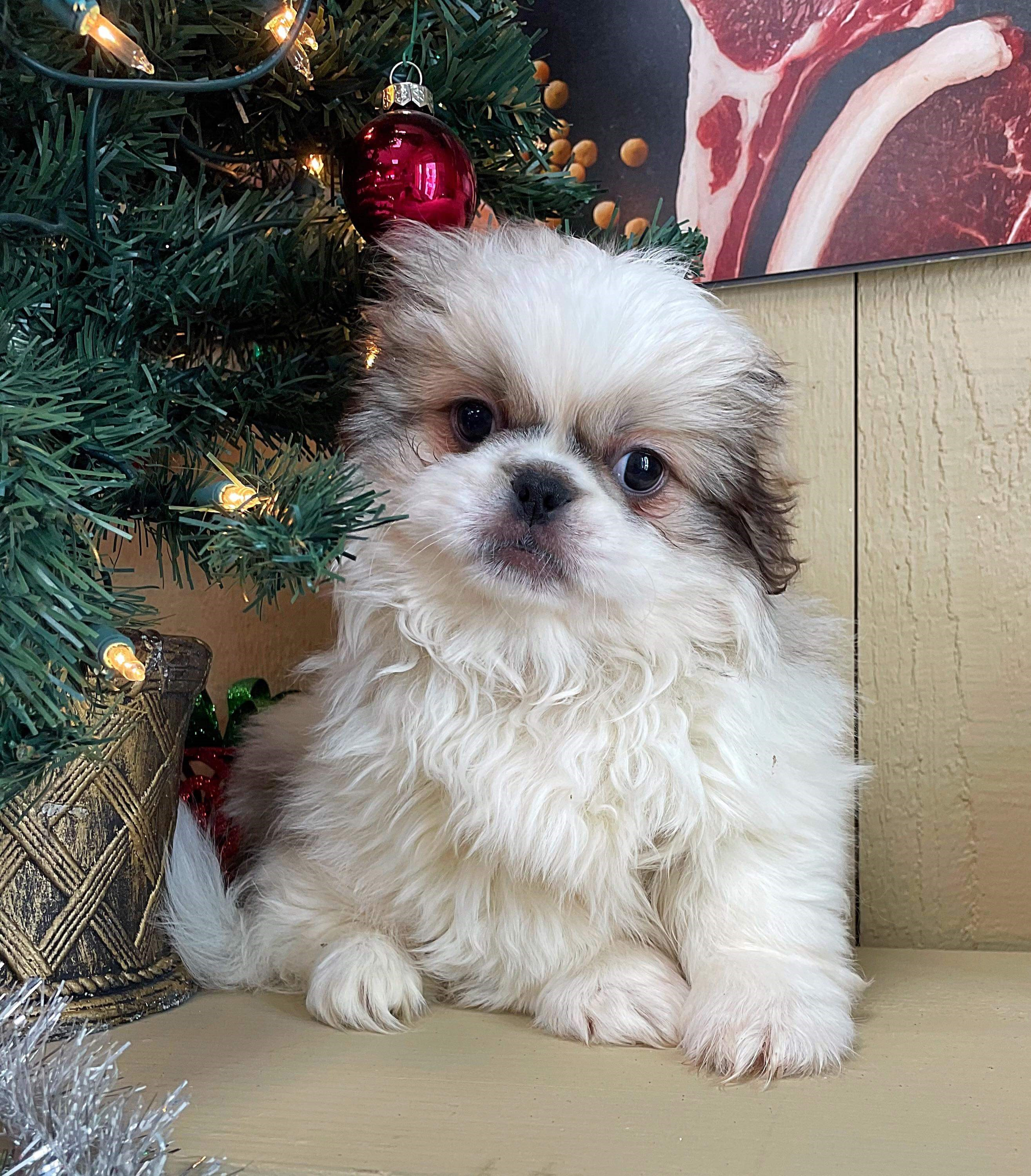 Pekingese**SUPER SALE
