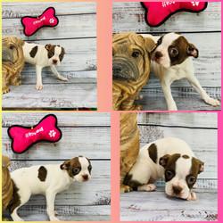 Boston Terrier-SALE