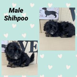 Shipoo