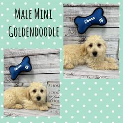 Mini Goldendoodle-SALE