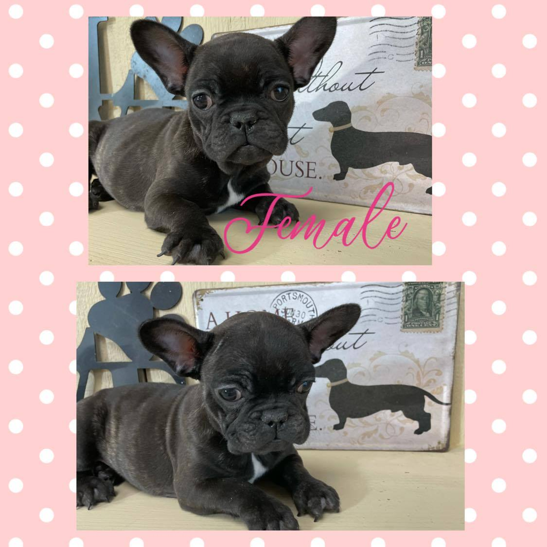 Frenchie**SUPER SALE