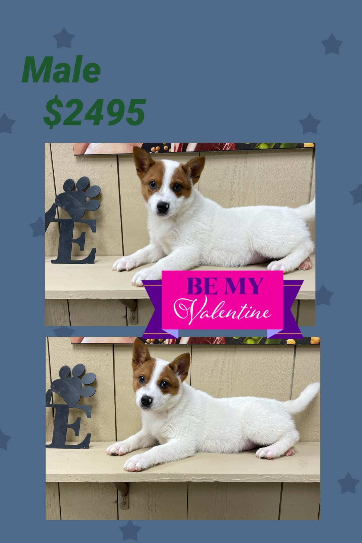 Red Heeler**SUPER SALE