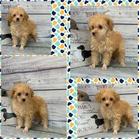 tiny toy poodle.jpg