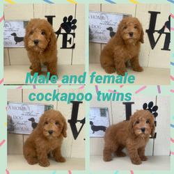 Cockapoo female avail