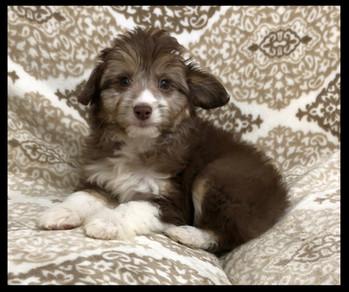 Mini AussiePoo(Aussie/Poodle)