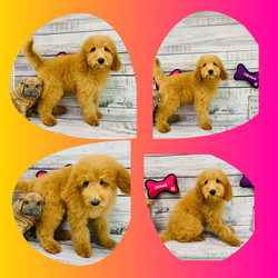 Goldendoodle -mid size