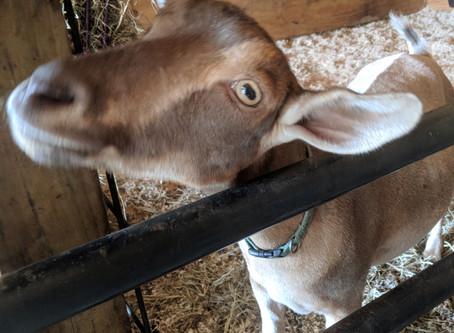Goat Herdsmanship