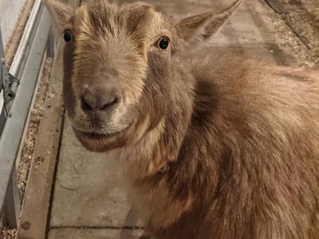 A Goat Mentor...
