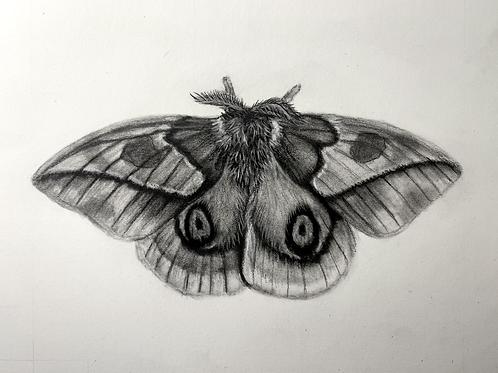 """B & W Moth"" #23 of 31"