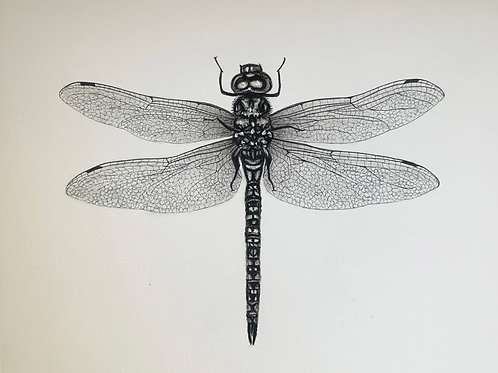 """""""Dragonfly"""" Drawing 8x10"""""""