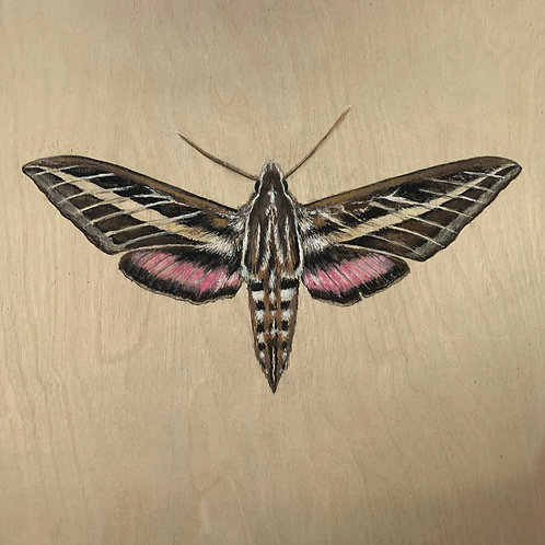 """White-Lined Sphinx Moth"" Gouache Painting on Wood"