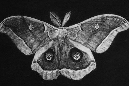 """Polyphemus Moth"" #5 of 31"