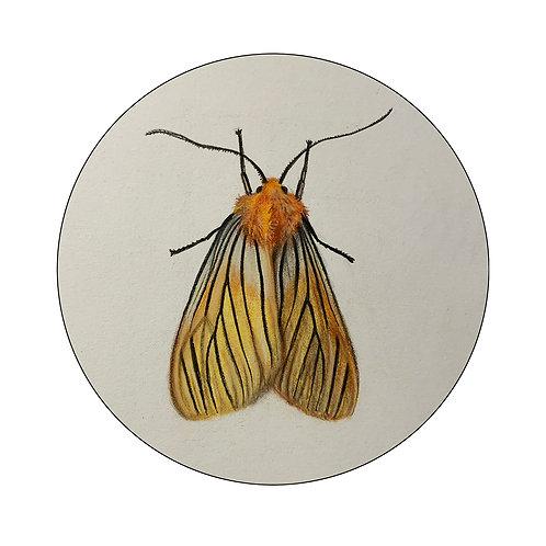 """Black-veined Yellow Moth"" #6 of 31"