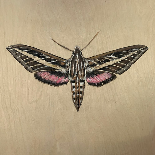 """Sphinx Moth"" #4 of 31"