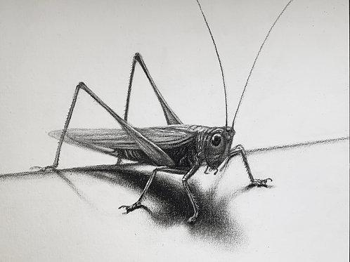 """Grasshopper"" Drawing 8x10"""
