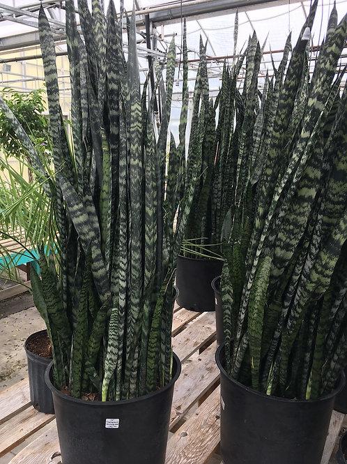 Sansevieria (Snake Plant) Wintergreen - 14-inch